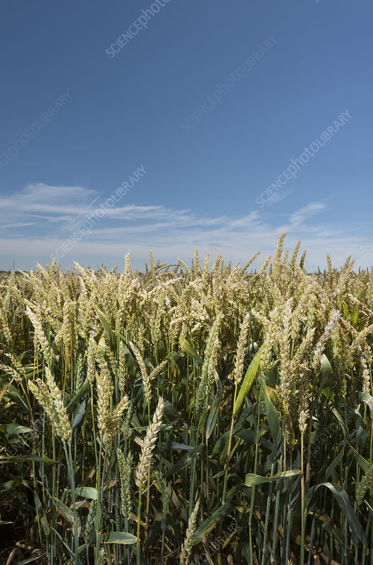 Wheat stalks in field under blue sky