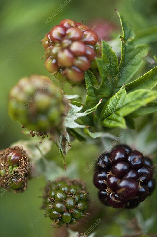Close up of wild blackberries on bush
