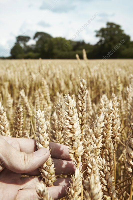 Close up of hand holding wheat stalks