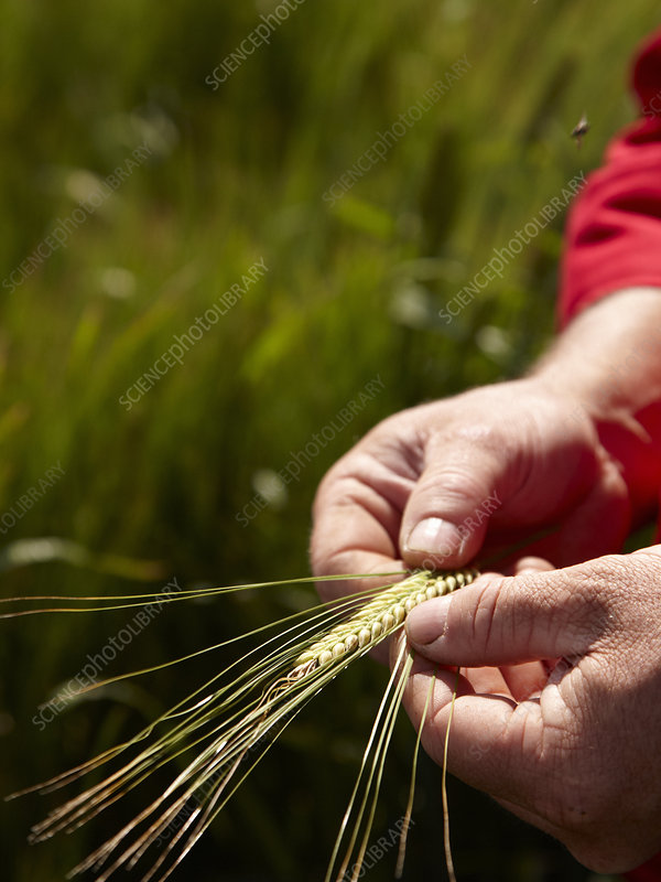 Farmer examining barley stalks in field