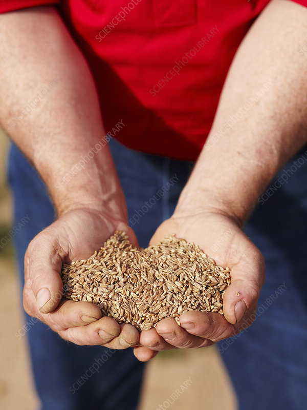 Farmer holding handful of barley seeds