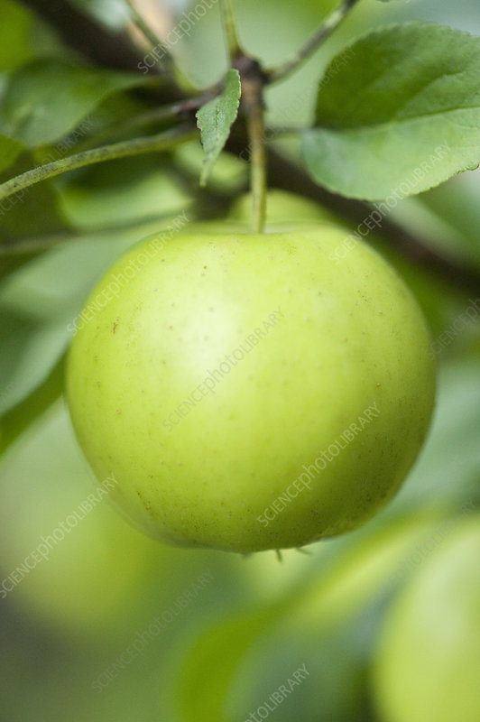 Close up of apple growing on tree