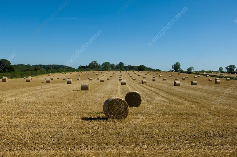 Hay bales in crop field