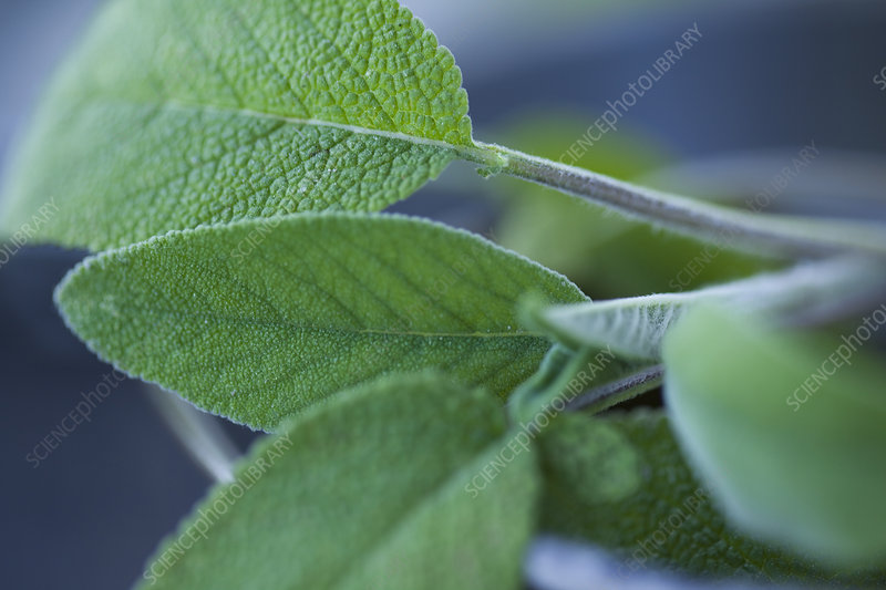 Close up of mint leaves