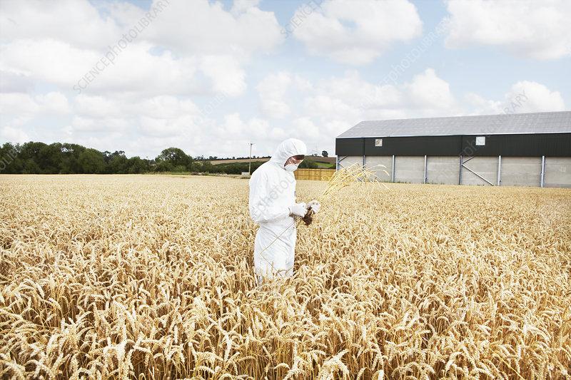 Scientist examining grains in crop field