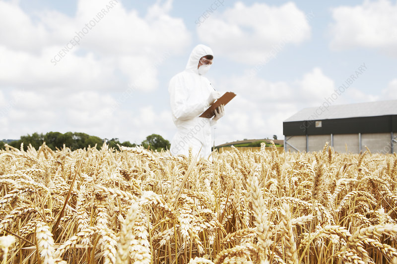 Scientist examining grains in crop field