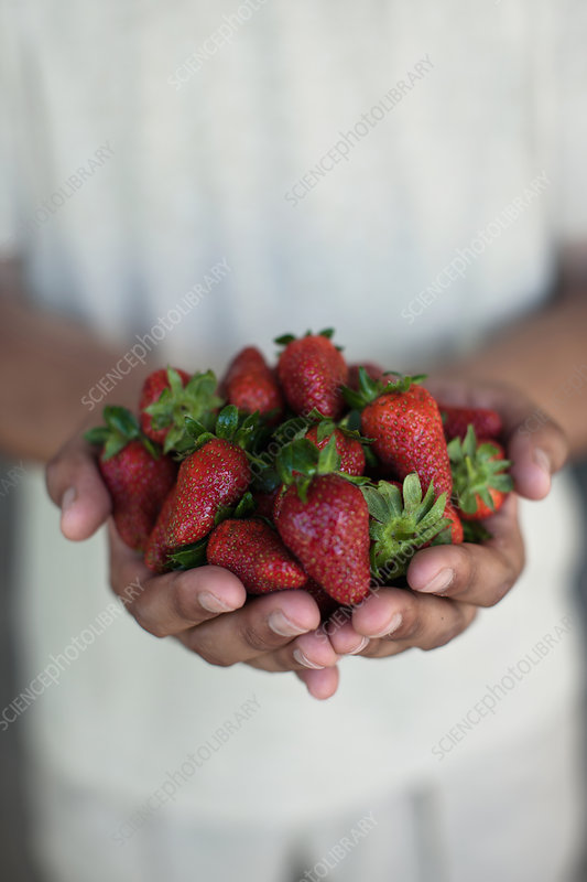 Close up of hands holding strawberries