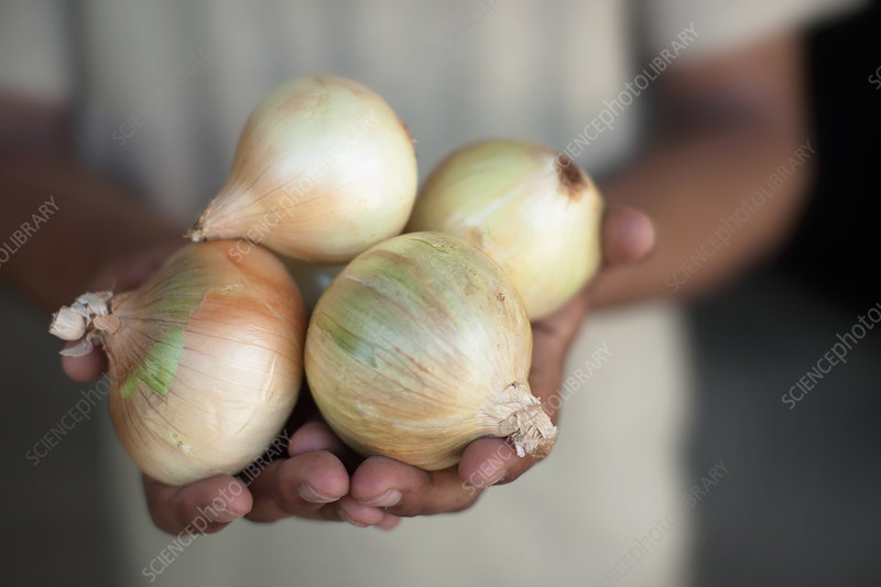 Close up of hands holding onions