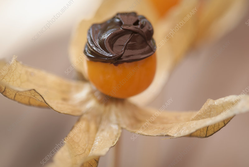 Chocolate on flower fruit