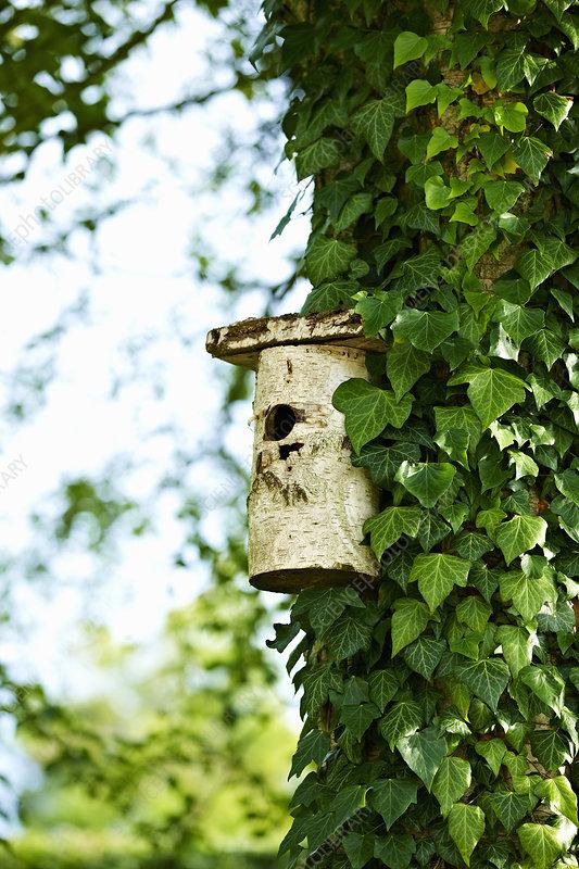 Birdhouse on ivy tree in backyard