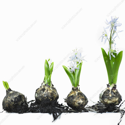 Stages of bulb growth to flower