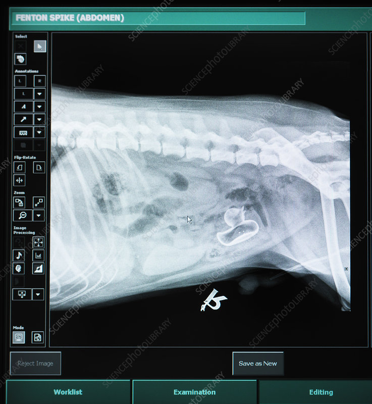 X-ray of dog with swallowed plastic duck