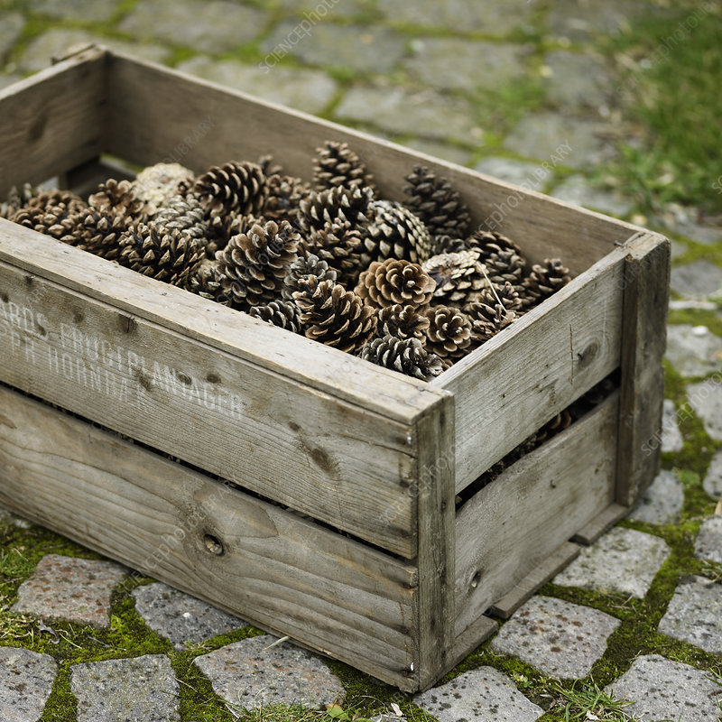 Crate of pine cones on cobblestone walk