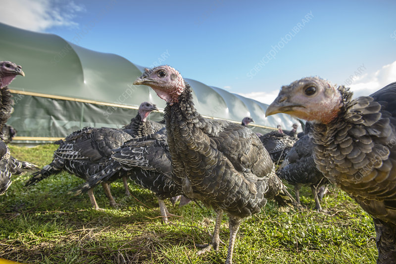 Turkeys on free range farm