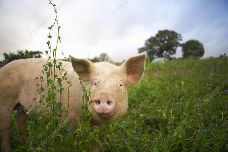 Pig walking in tall grass