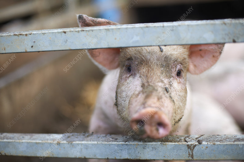 Pig peeking out from behind fence