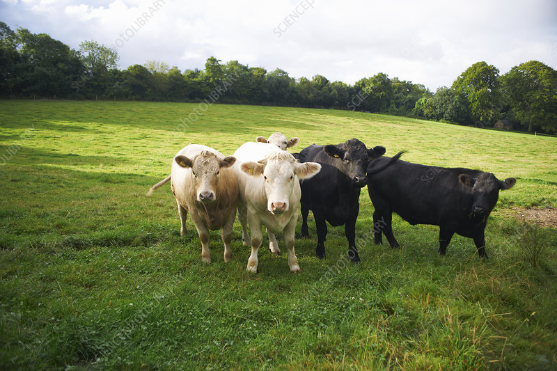 Cows walking in grassy field