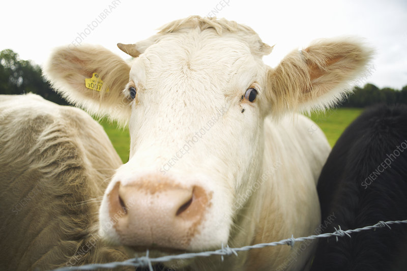 Close up of cows face