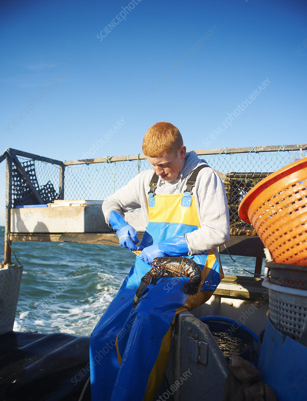 Fisherman holding lobster on boat