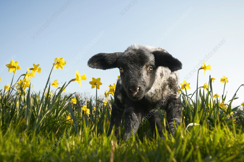 Lamb walking in field of flowers