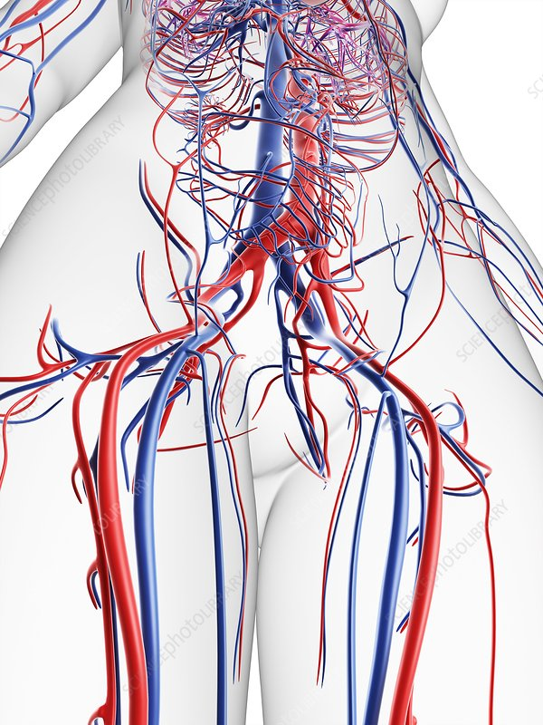 Female vascular system, artwork