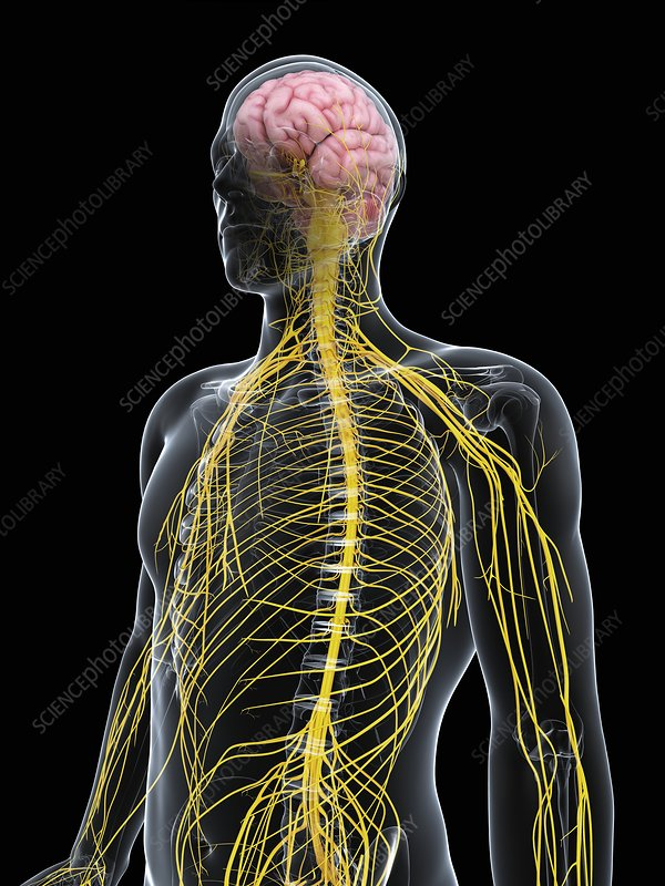 Male nervous system, artwork