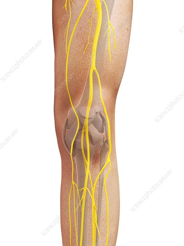 Leg nerves, artwork