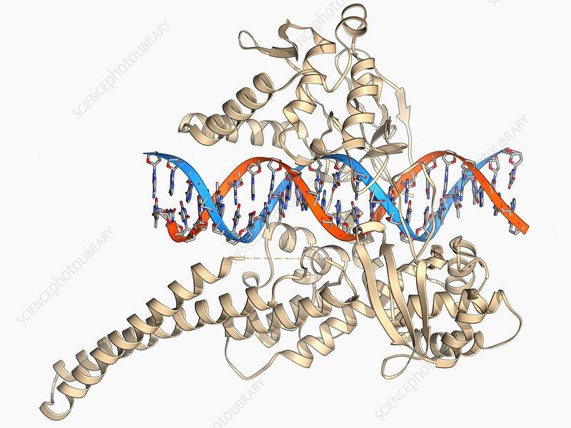 Type I topoisomerase bound to DNA