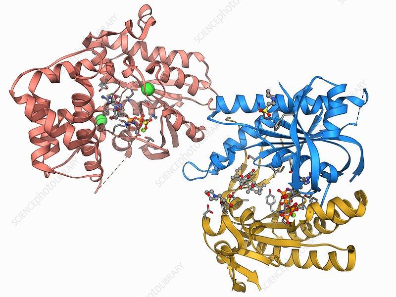 Adenylyl cyclase enzyme molecule
