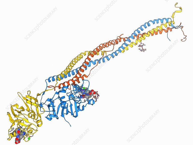 Fibrinogen molecule