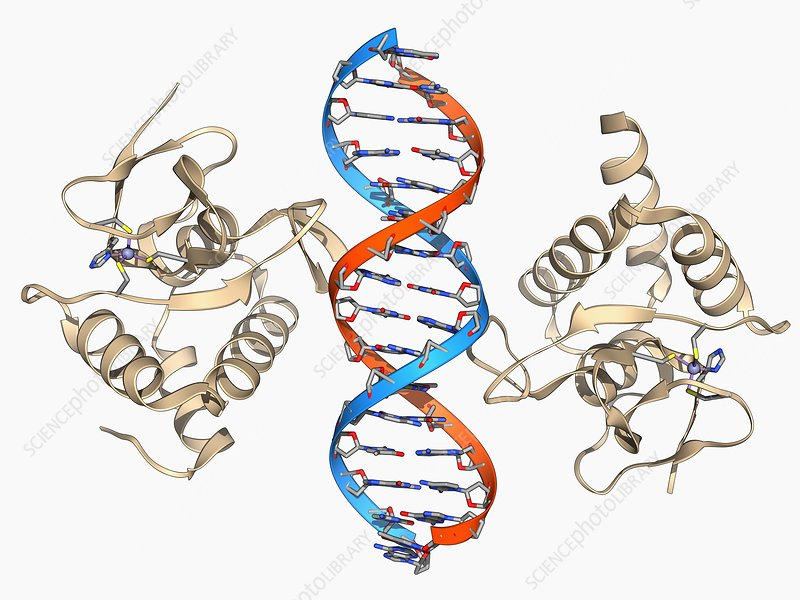 SMAD4 protein domain bound to DNA