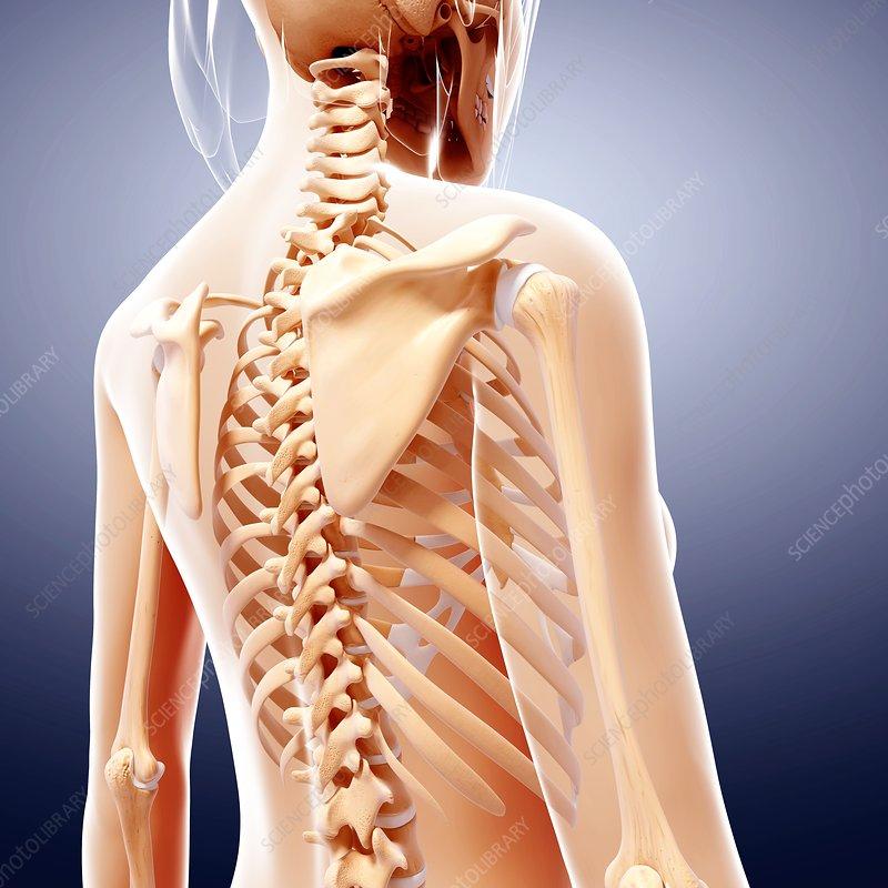 Female skeleton, artwork - Stock Image F007/1206 - enlarged - Science ...