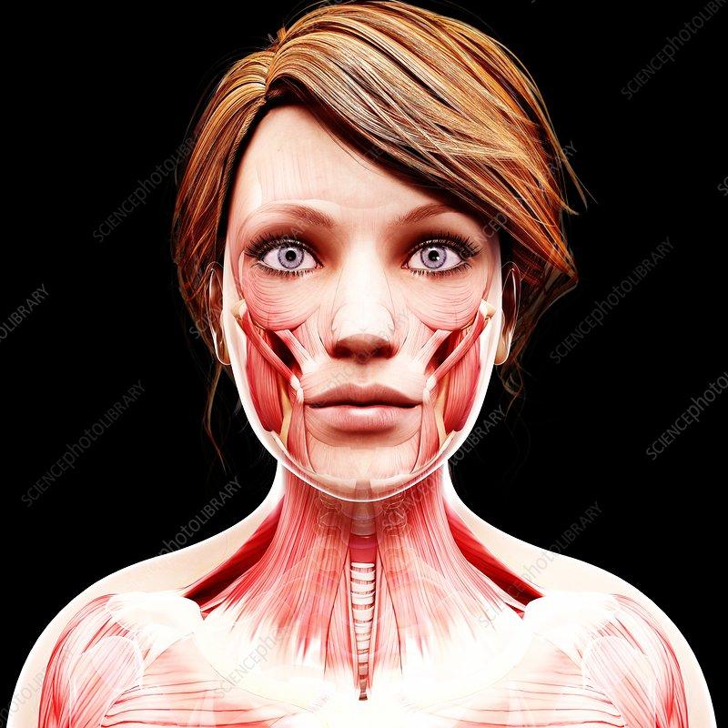 Female musculature, artwork