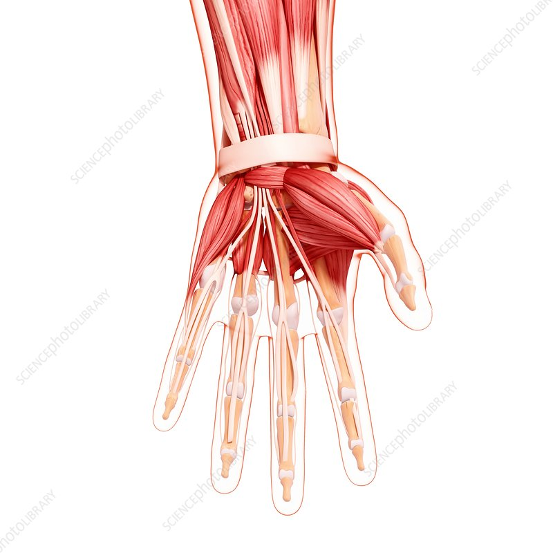 Human hand musculature, artwork