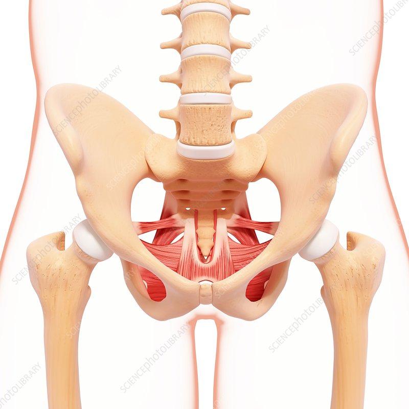 Human hip musculature, artwork
