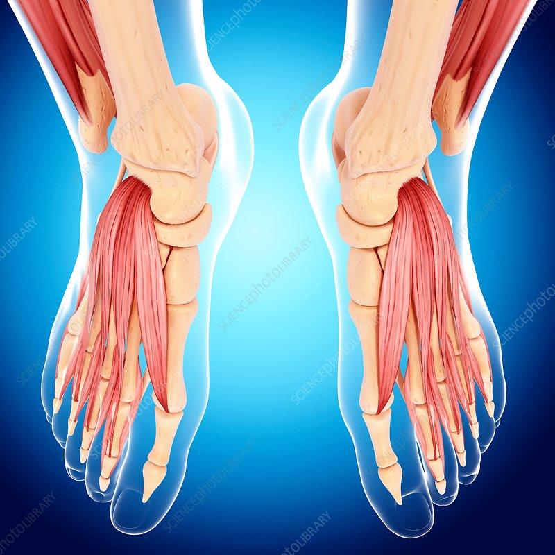 Human foot musculature, artwork