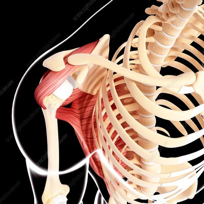 Human shoulder musculature, artwork