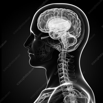 Male brain, artwork