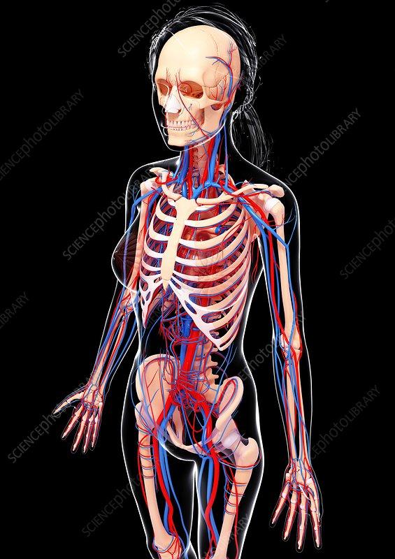 Female cardiovascular system, artwork