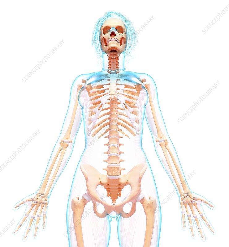 Female skeleton, artwork