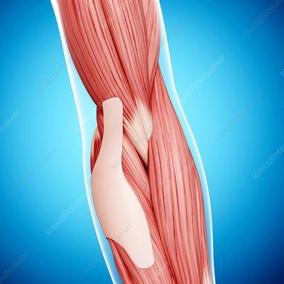 Human arm musculature, artwork