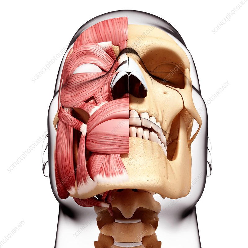 Human head musculature, artwork
