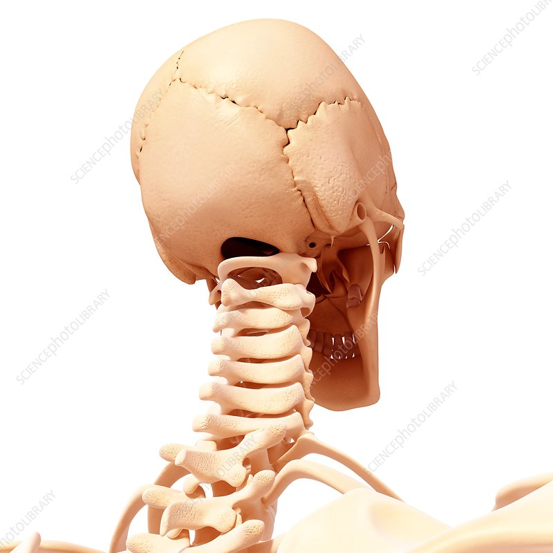 Human head skeleton, artwork