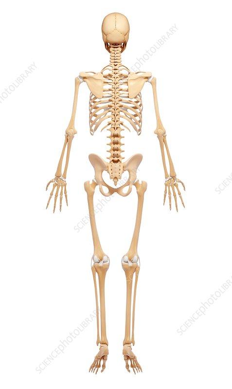 Human skeleton, artwork