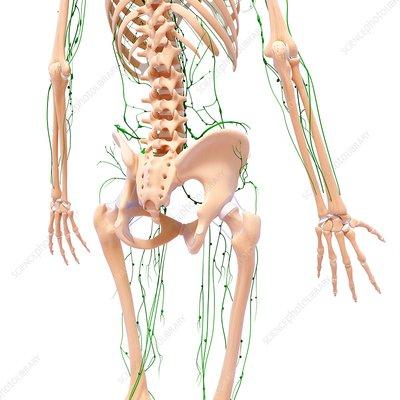 Female lymphatic system, artwork