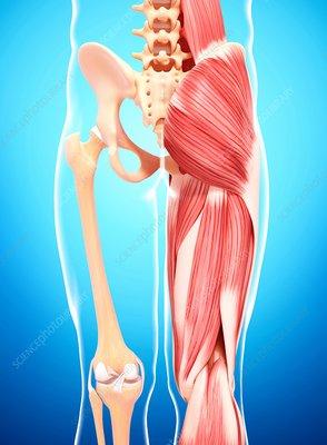 Human leg musculature, artwork