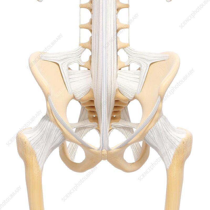 Human pelvic bones, artwork