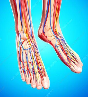 Human foot anatomy, artwork