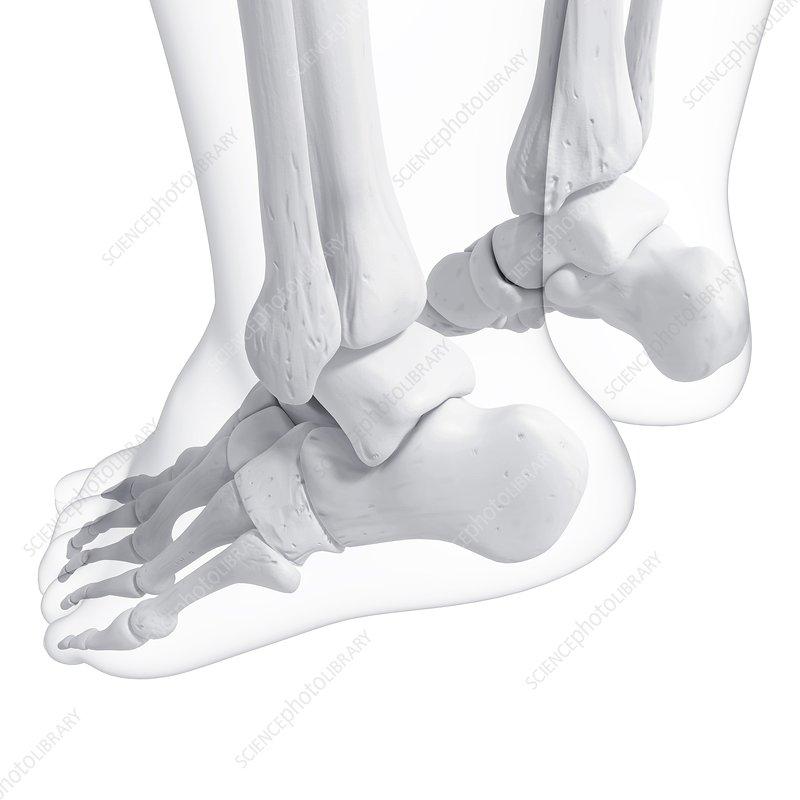 Human foot bones, artwork