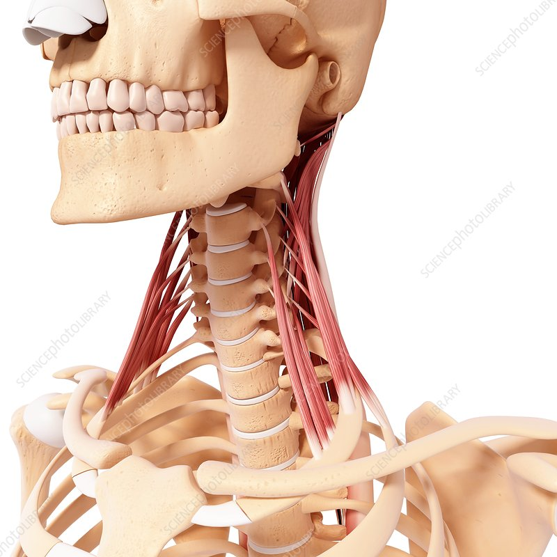 Human neck musculature, artwork